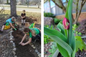 Planting Maria Montessori Tulips